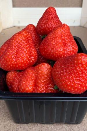Vennenhof sonsation aardbeien